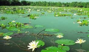 Photo of দেশের হাওড় বিল থেকে বিলুপ্তির পথে জাতীয় ফুল শাপলা